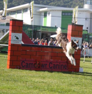 Collie at agility