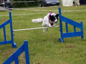 collie agility